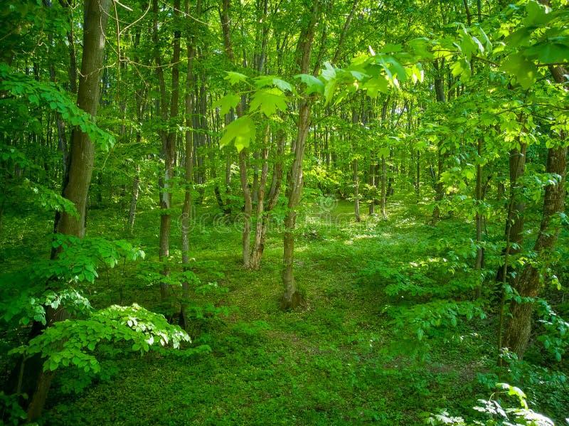 Forêt verte vibrante complètement de la vie sous la lumière du soleil chaude de ressort Fond parfait de nature de ressort, beau p image libre de droits