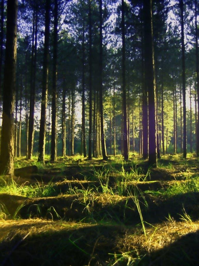 Forêt vibrante de pin d'été photos stock