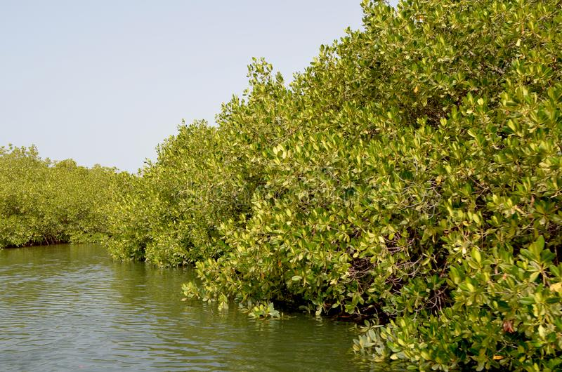 Forêts de palétuvier dans la région de delta de rivière de Saloum, Sénégal, Afrique de l'ouest photographie stock libre de droits
