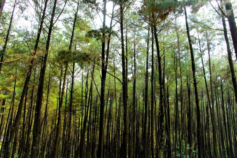 Forêts de pin photos libres de droits