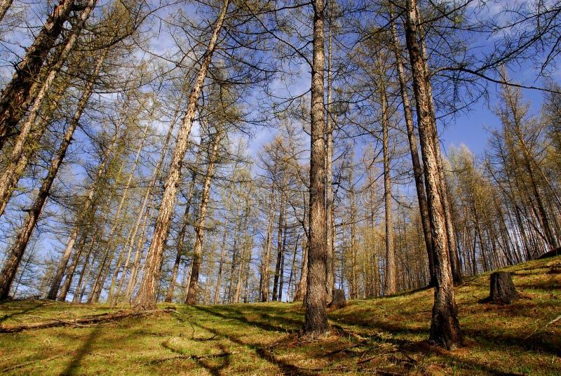 Forêts de temps de source, Mongolie photo libre de droits