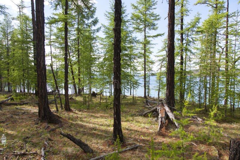 Forêts devant le lac Khovsgol photos stock
