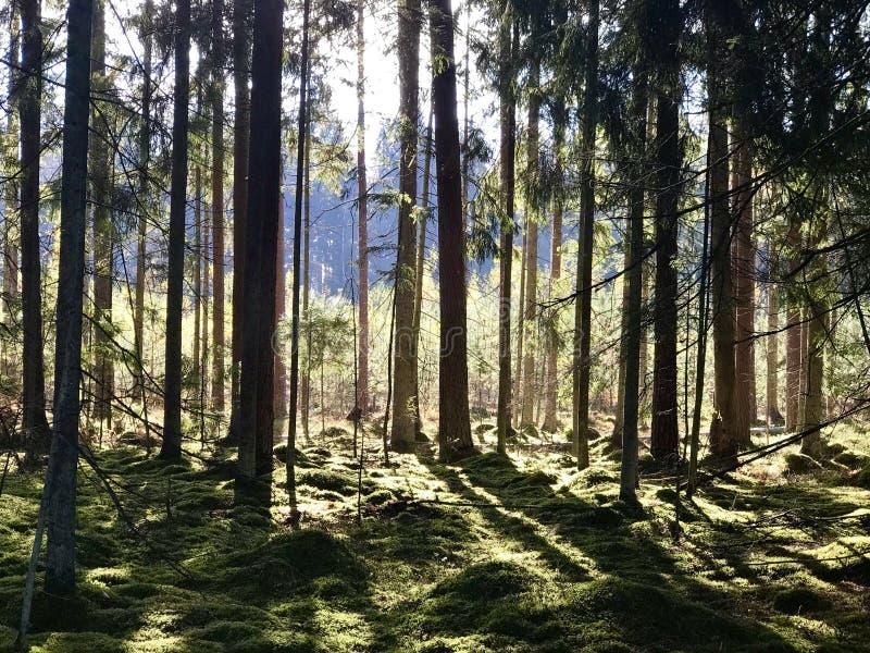 Forêts lettons Lumière et air images stock