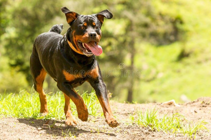 Fora do cão de Rottweiler da trela fotografia de stock