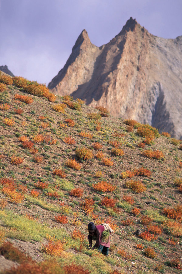 Forage harvest. Zanskar Mountains, Ladakh, India royalty free stock photos