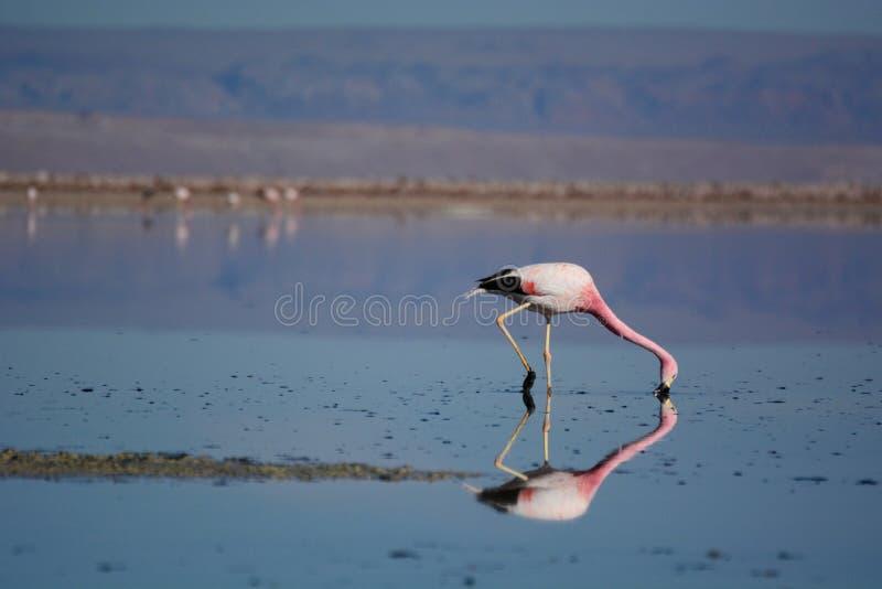 Foraggiamento andino del fenicottero alla laguna di Chaxa Riserva nazionale di flamenco di Los chile fotografia stock libera da diritti