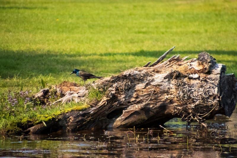 Foraggiamento comune del grackle lungo la riva del Chippewa Flowage immagini stock