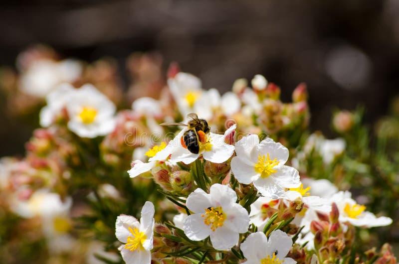 Foraggiamento del fiore e dell'ape della primavera fotografia stock libera da diritti