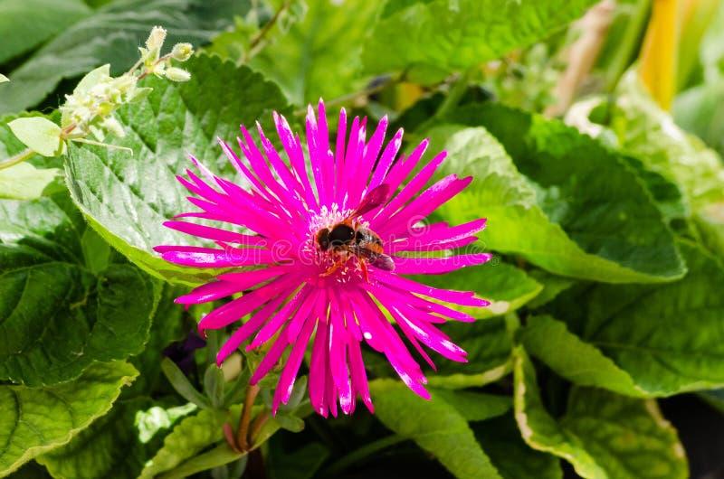 Foraggiamento del fiore e dell'ape della primavera fotografie stock libere da diritti