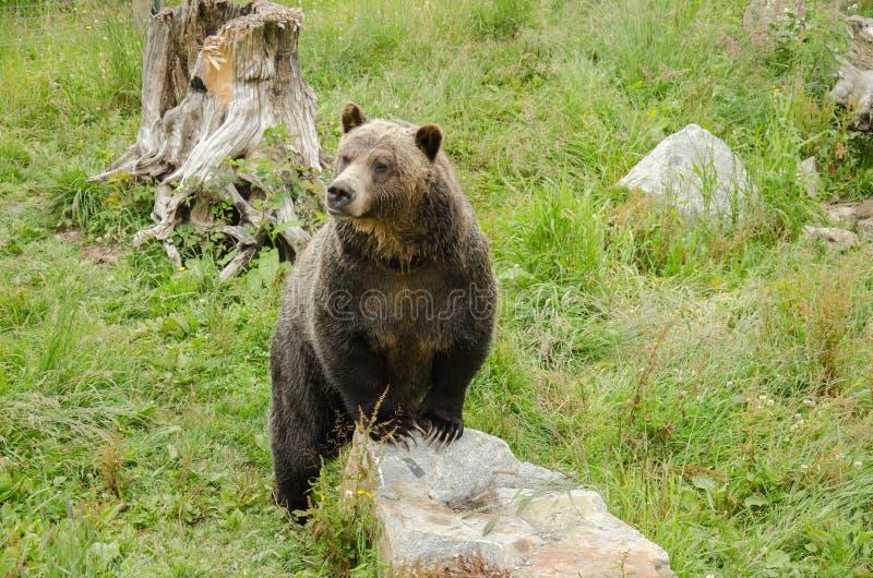 Foraggiamento dell'orso di Grizzley per l'alimento immagine stock libera da diritti