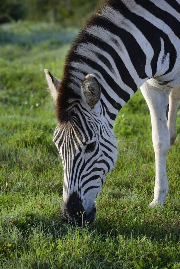 Foraggiamento della zebra delle pianure in Addo Elephant National Park fotografia stock