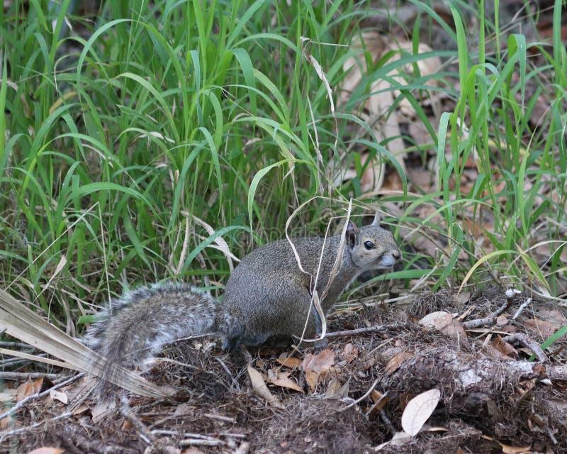 Foraggiamento dello scoiattolo di gray orientale nel legno fotografia stock