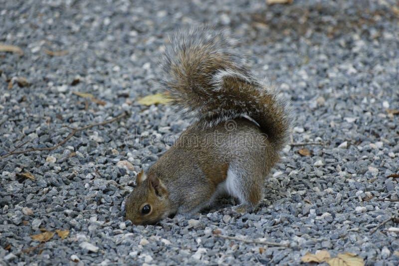 Foraggiamento dello scoiattolo per l'alimento in ghiaia fotografia stock libera da diritti