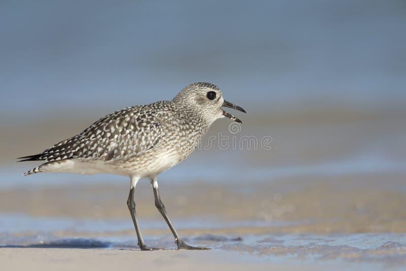 Foraggiamento di squatarola del Pluvialis della pivieressa sulla spiaggia di Florida fotografie stock