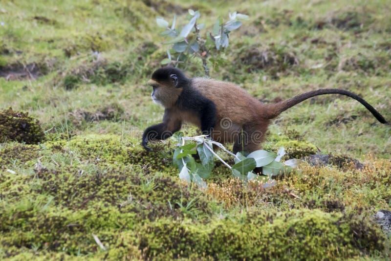 Foraggiamento dorato pericoloso della scimmia, parco nazionale dei vulcani, Rwan fotografia stock