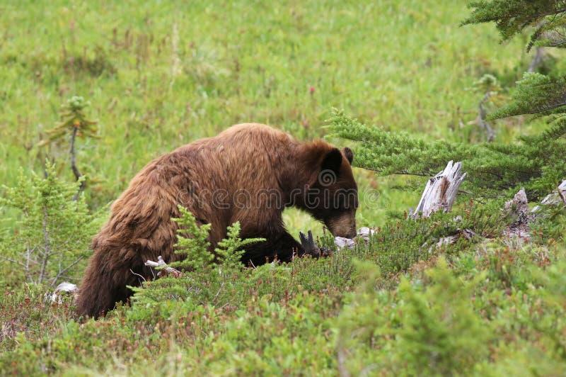 Foraggiamento giovanile dell'orso nero fotografia stock libera da diritti