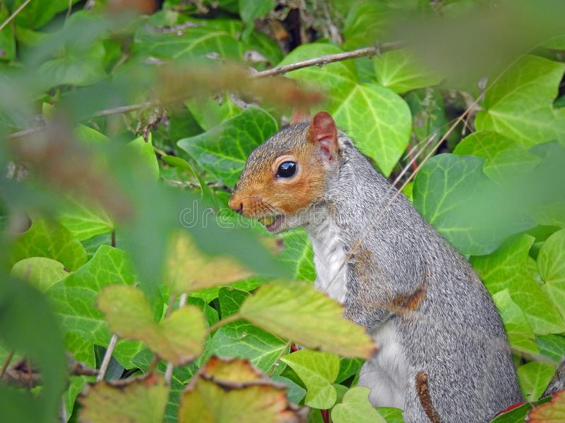 Foraggiamento grigio britannico dello scoiattolo per le ghiande fotografie stock