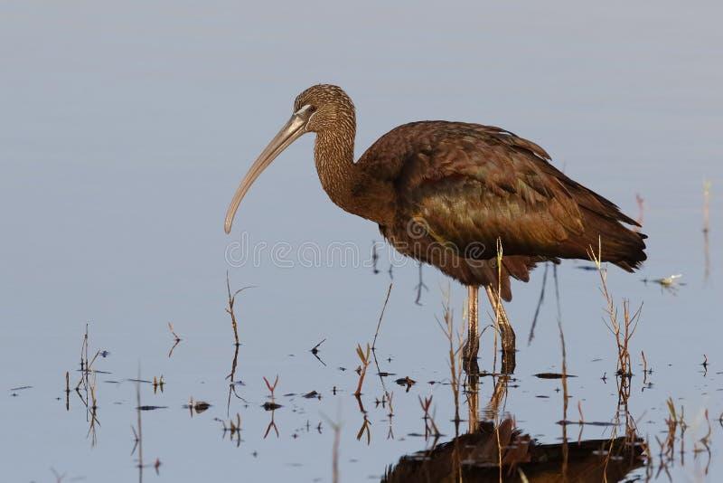Foraggiamento lucido dell'ibis in uno stagno basso - Florida immagine stock