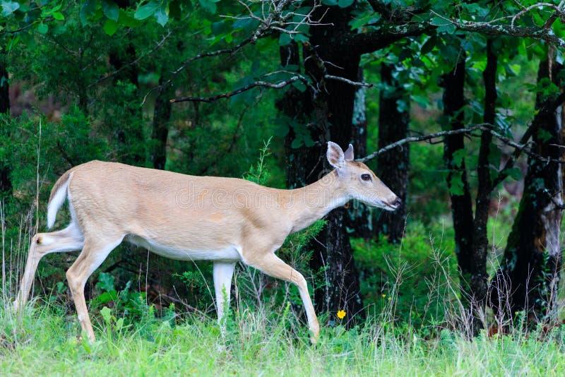 foraggiamento Mentre-munito dei cervi nel parco di stato della sagittaria in canadese, Oklahoma fotografia stock