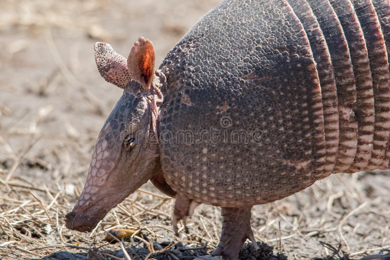 Foraging armadillo. Nine-banded armadillo foraging in a dry grassland royalty free stock photography