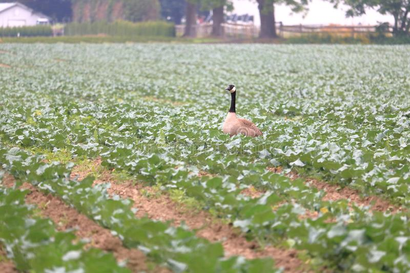 Foraging Canada Goose Damaging Crop stock photos