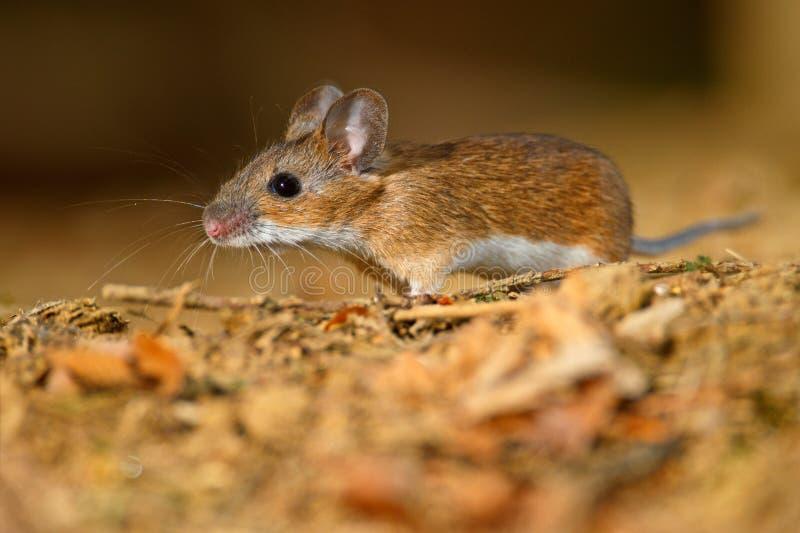 Foraging för Wood mus royaltyfria foton