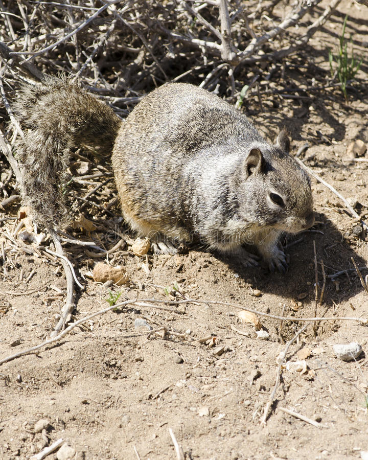Free Foraging Ground Squirrel Royalty Free Stock Image - 39020526