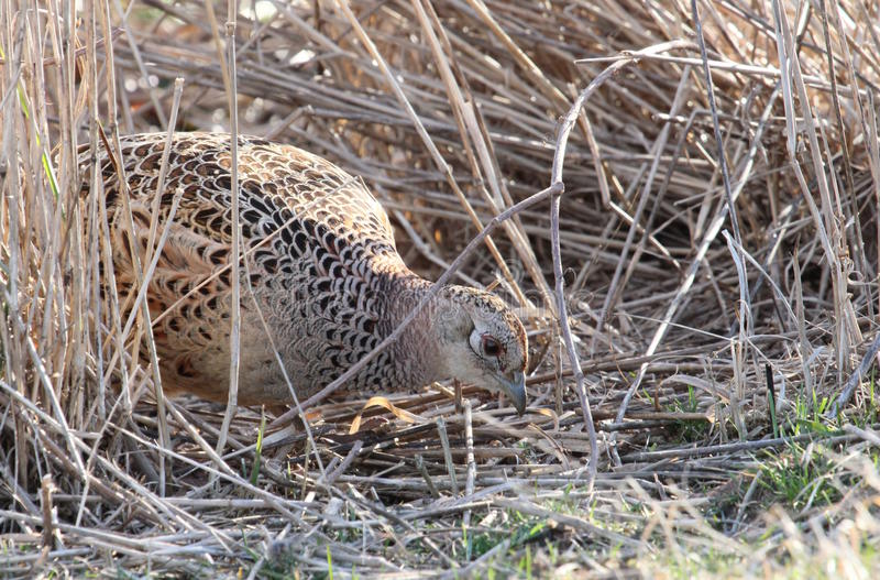 Foraging hen pheasant. Female ring-necked pheasant foraging in tall grass stock photos