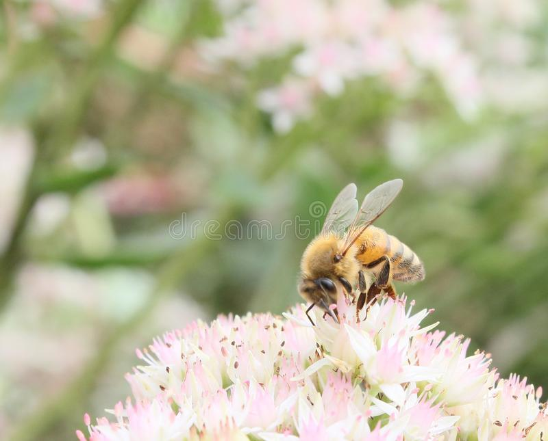 Download Foraging honeybee stock image. Image of ecology, honey - 26549039