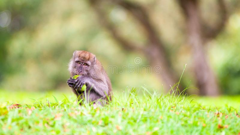 Download Foraging Macaque Monkey stock photo. Image of fruit, macaque - 8545978