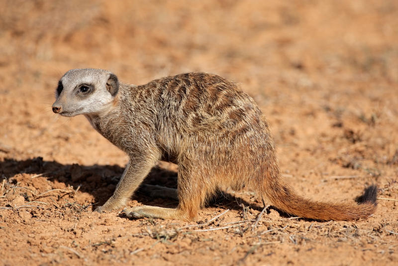 Download Foraging meerkat stock photo. Image of southern, suricata - 23409340