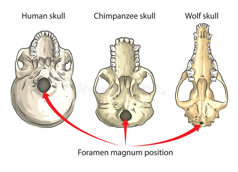 Foramen Magnum Stock Vector Illustration Of Evolution 62681312