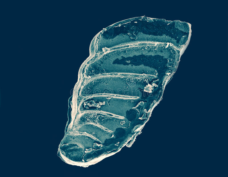 Foraminiferashell royalty-vrije stock afbeeldingen