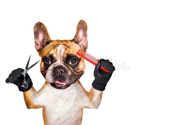 Forbici divertenti della tenuta del groomer del barbiere del bulldog francese dello zenzero del cane e pettine rosso Uomo isolato fotografia stock libera da diritti