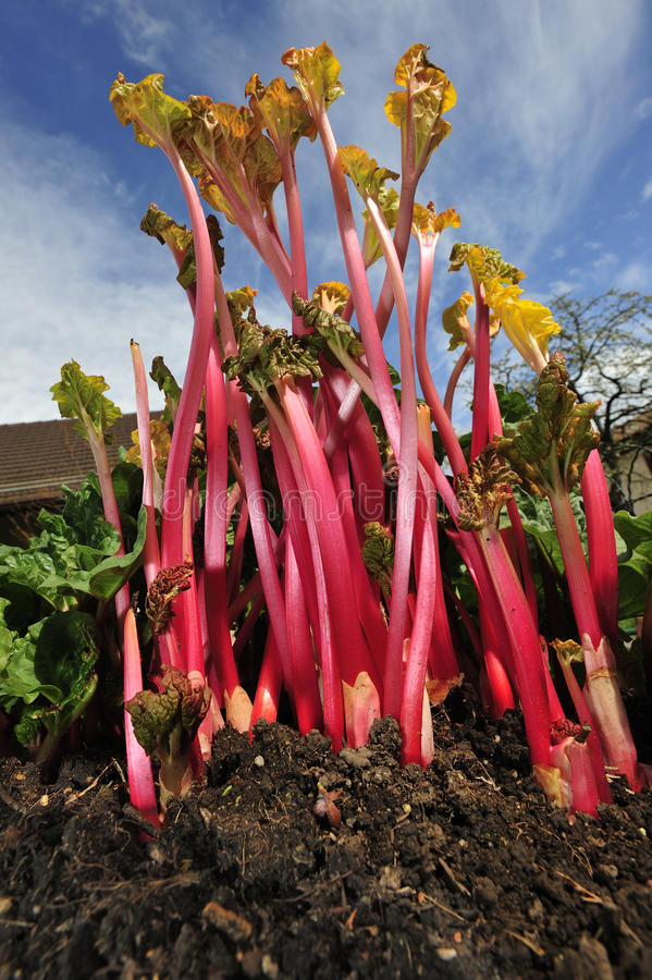 Forced rhubarb stock images