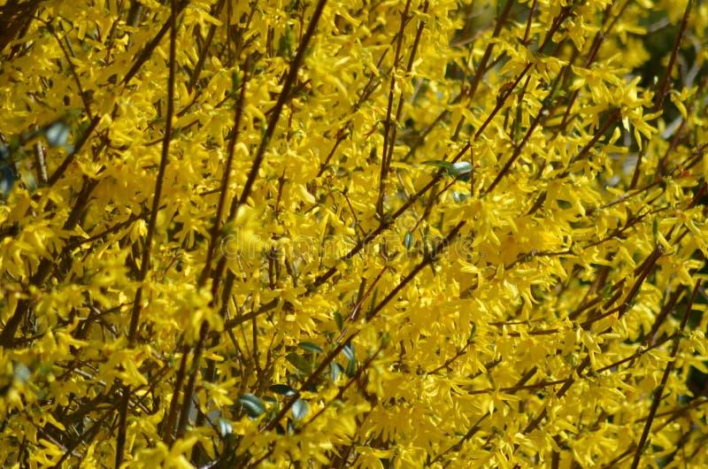 Forcythia en la floración imagen de archivo