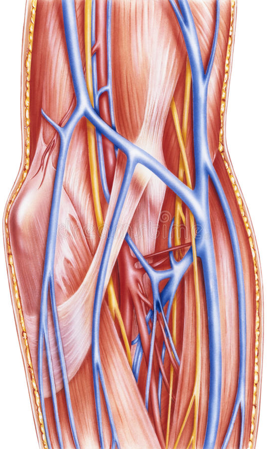 Forearm - Left Anterior Vessels And Nerves Deep Dissection Stock ...