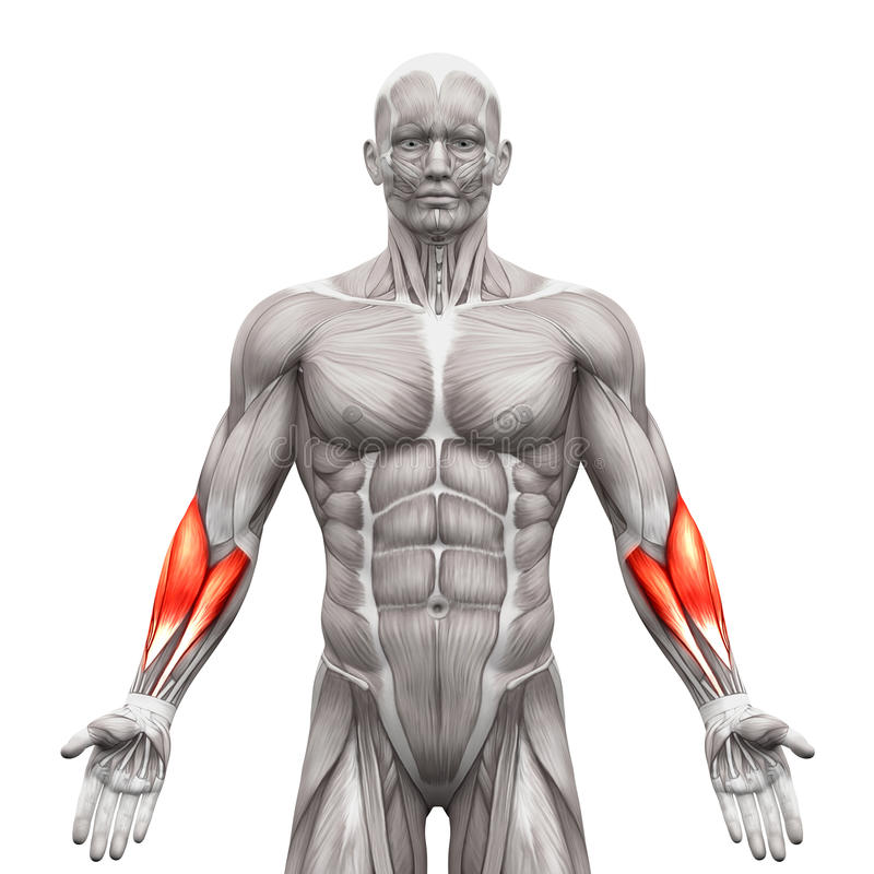 Forearm Muscles - Anatomy Muscles Isolated On White - 3D Illustr ...