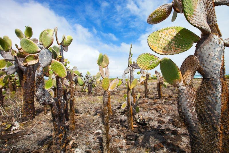 Foreat de cactus d'opuntia à l'île de Galapagos image libre de droits