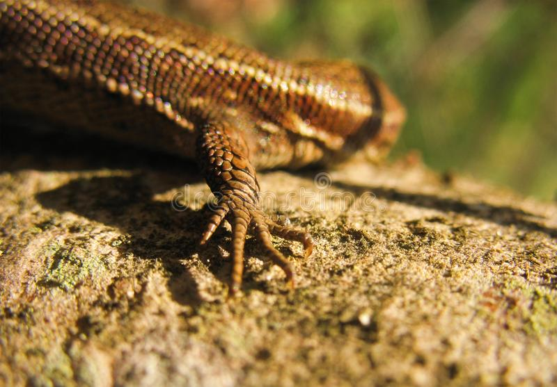 Download Forefoot of lizard stock photo. Image of fauna, reptile - 5275050
