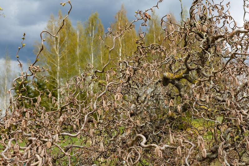 forefront of the decorative hazel tree branches abstract form royalty free stock photo