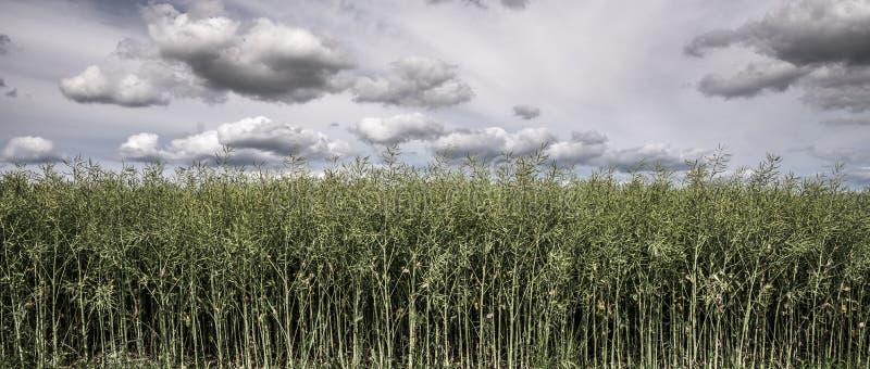 Foregroud jeden odpowiada colza pod chmurami w wiośnie zdjęcie royalty free