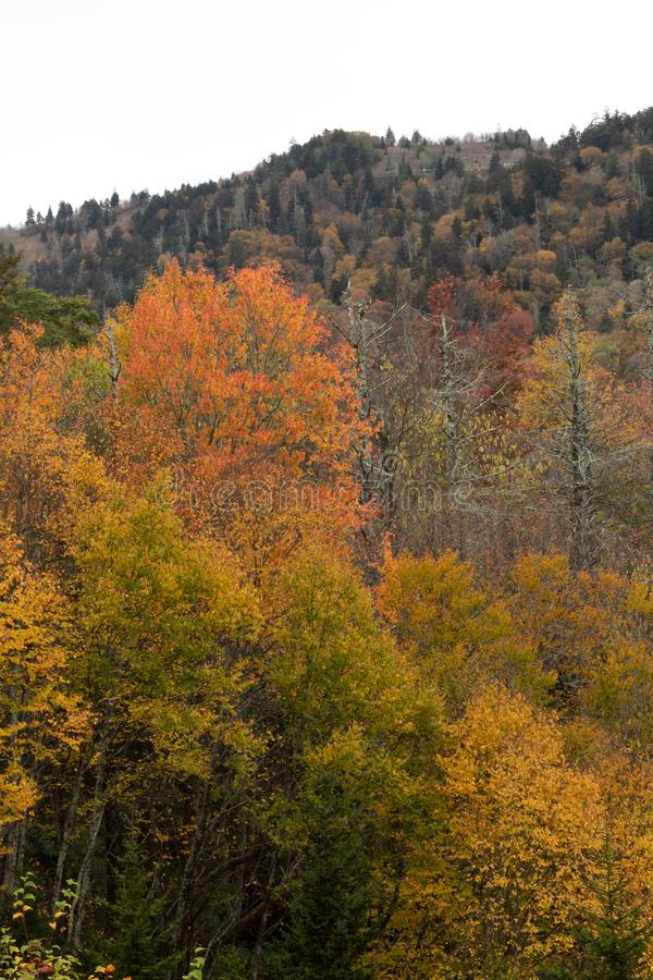 Foreground of brilliant yellow and orange fall trees with mountain behind, Great Smoky Mountains. Vertical aspect stock photos