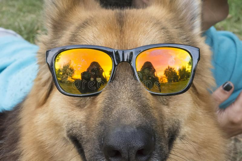 Hilarious German Shepherd dog with colorful sunglasses stock images