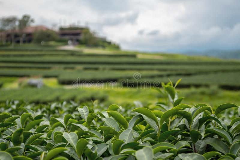 Foreground focus of Oolong green tea fresh leaves in a terraced plantation royalty free stock image