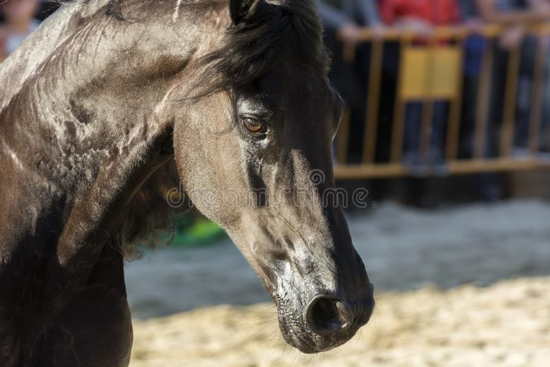 Portrait of a stunning Friesian horse stock photography