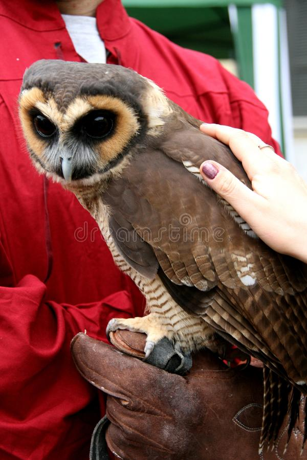 Close-up portrait of the bull`s eye. Foreground portrait of the young tawny man and his big black eyes on the gloved hand of the falconer stock photo