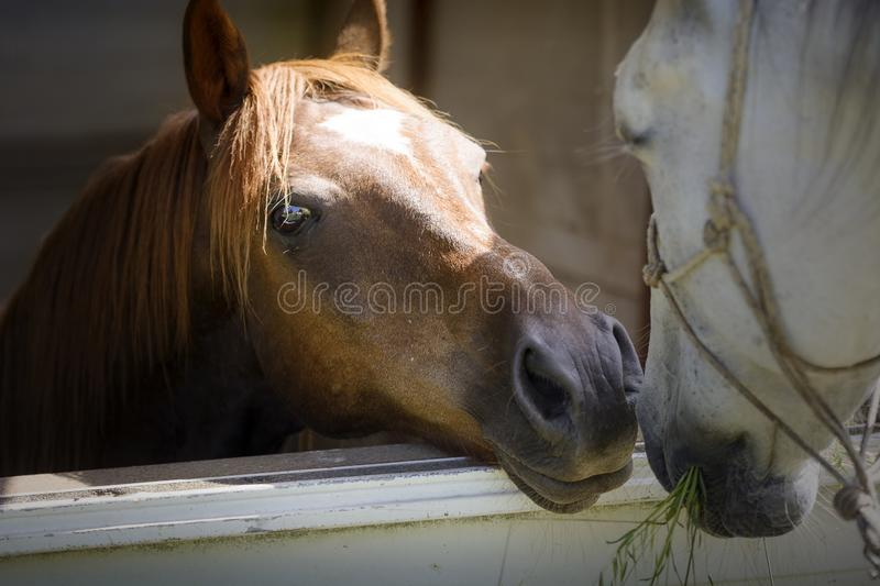 Close up of an Anglo-Arabian stallion horse poking his head over the door of his stable to greet another white horse stock photos