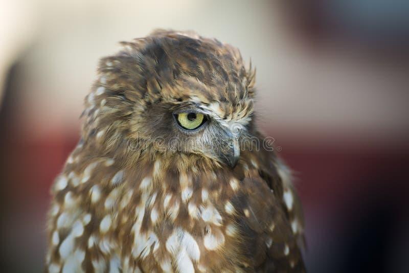 Portrait of a little owl hawk stock images
