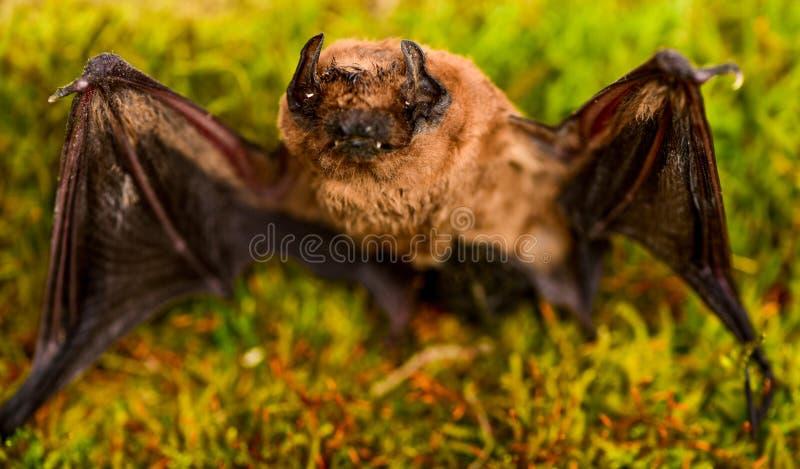 Forelimbs adaptados como as asas Mam?feros naturalmente capazes do voo verdadeiro e sustentado O bast?o emite-se o som ultrass?ni fotografia de stock